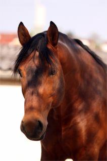 Altwürttemberger Pferd – Hengst Sorius, Foto: Bozai