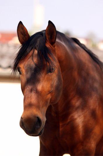 Das Alt-Württemberger Pferd - Die Gefährdete Nutztierrasse