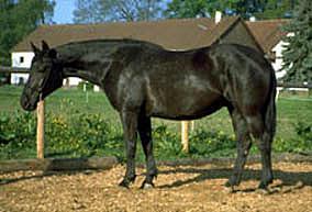 Rottaler Pferd